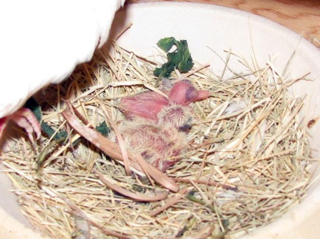 dovelings