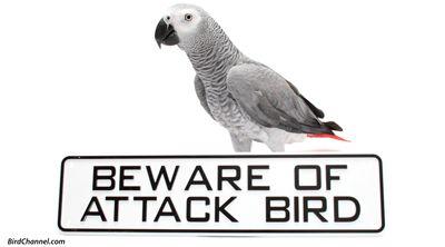 082015 gray attack bird