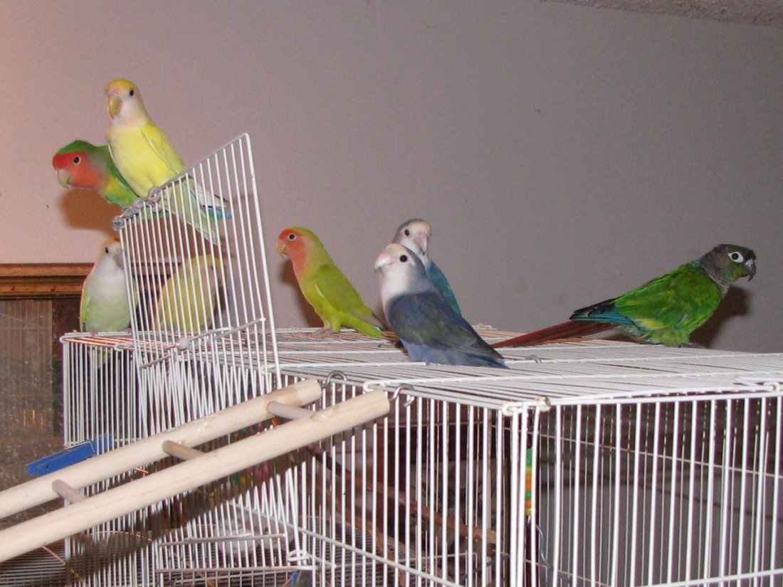 Flock of lovebirds
