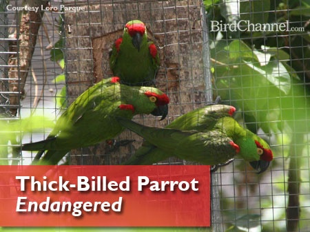 120615 thick billed