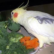 122415 cockatiel veggies