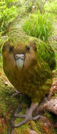 122415 kakapo