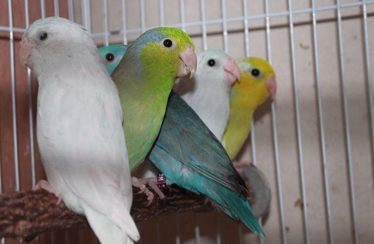 122415 parrotlets