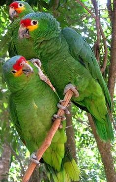 122415 red lored amazon