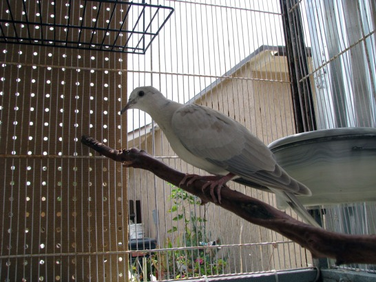 Dove in side cage with protected sides.