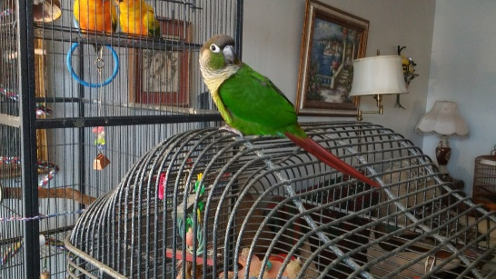 New Foster Nacho on Dani's cage