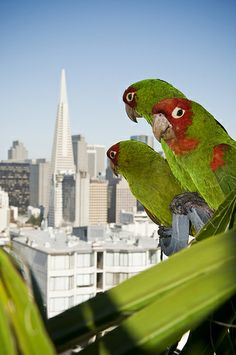 010316 wild parrots