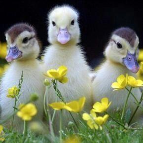 010716 ducks