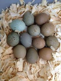 My quail eggs tend to be the olive green type.