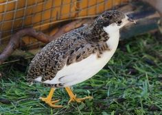 A good example of a tuxedo colored button quail.