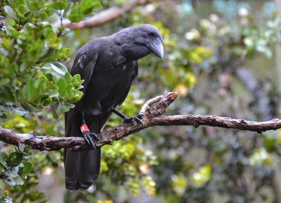 012816 crow