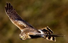 Hen harrier