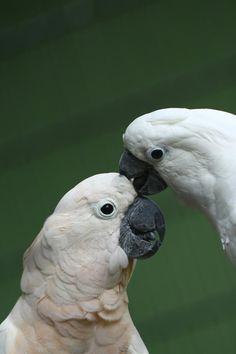 032416 cockatoos