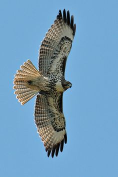 041416 hawk red tail