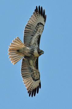 041416 hawk red tail