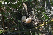 042116 dove eggs