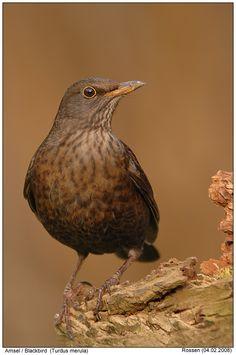 050116 female blackbird