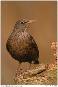 050116 female blackbird