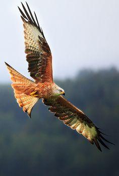 050116 red kite