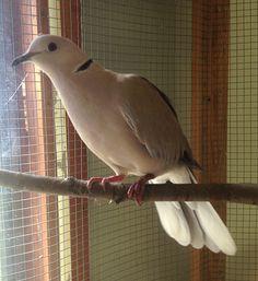 051216 healthy dove