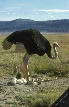 061916 ostrich