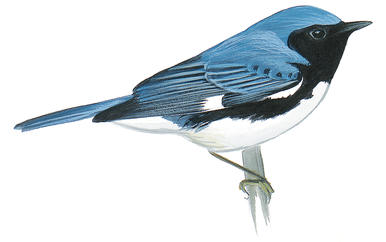 062616 black throat blue