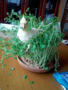 063016 cockatiel in greens