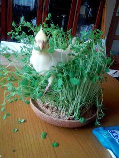 063016 cockatiel in greens