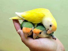 072116 lovebirds