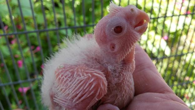 albino tiel chick