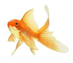 081416 goldfish