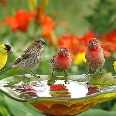 091816-finches-drinking