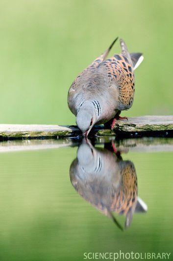 091816-turtle-dove