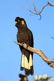 092516-yellow-tailed-black-cockatoo
