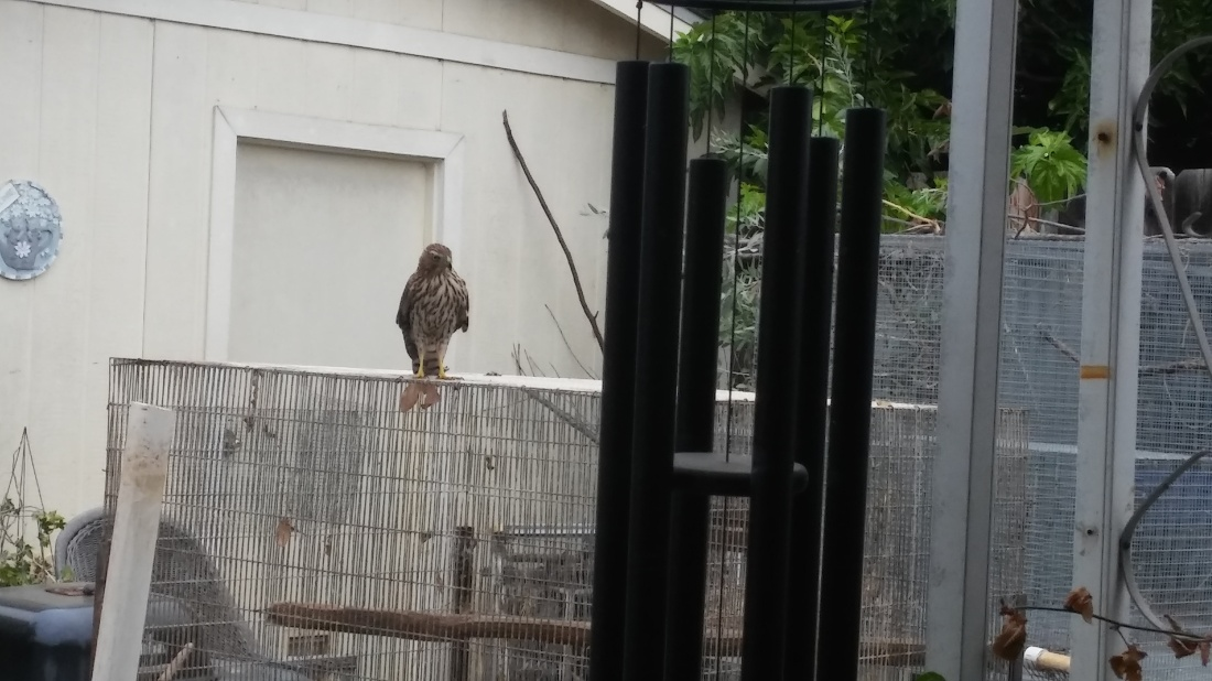 visiting-coopers-hawk