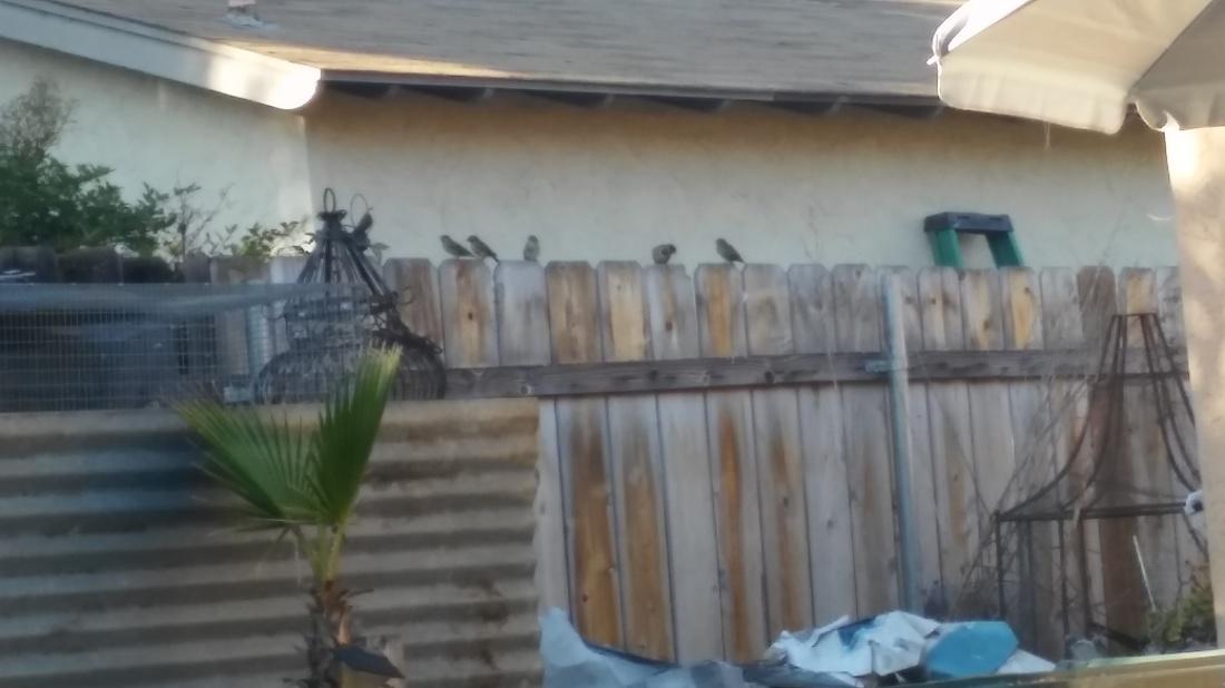 wild-finches