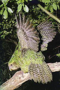 103016-kakapo