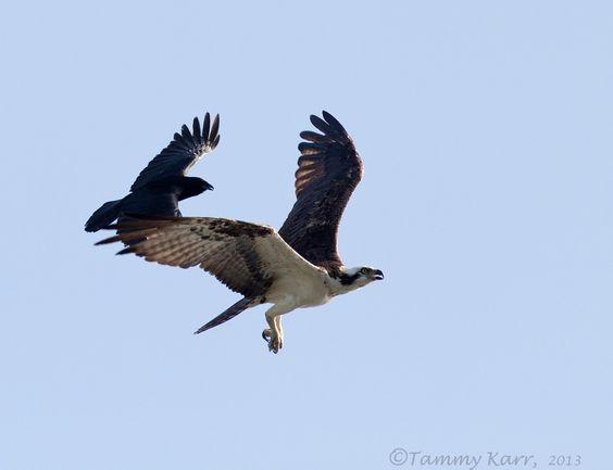 021217-hawk-and-crow