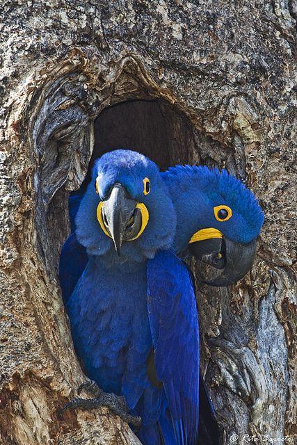 022617-hyacinth-macaws