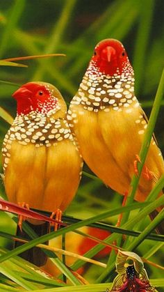 022617-star-finches