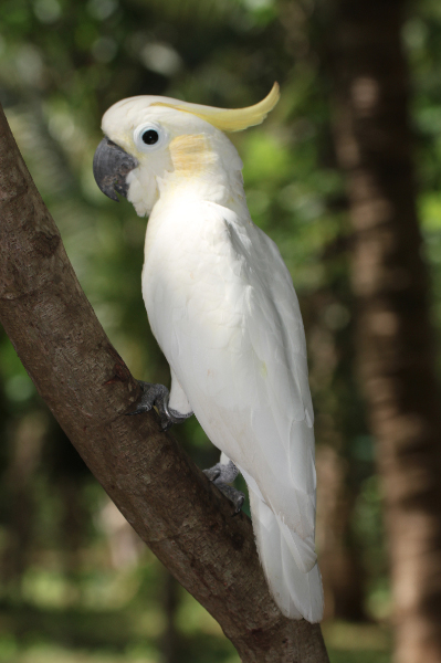 032517 yellow crested cockatoo