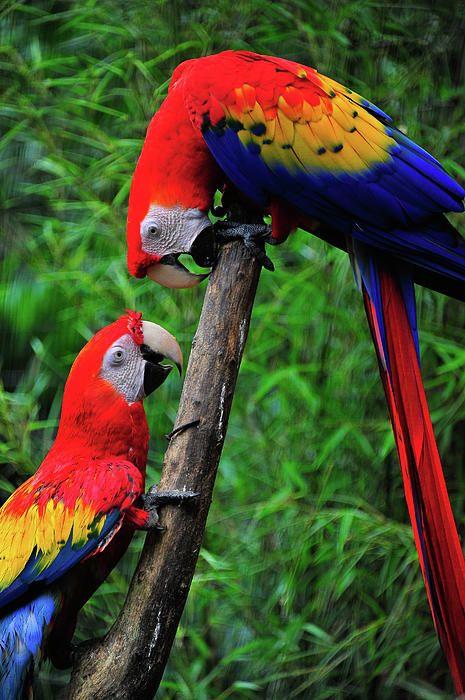 043017 macaw love