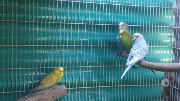 adult budgies