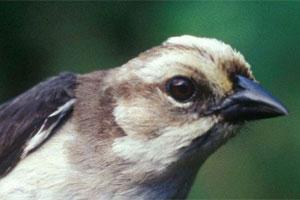062517 a pale headed finch