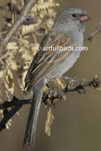 Worthen's Sparrow