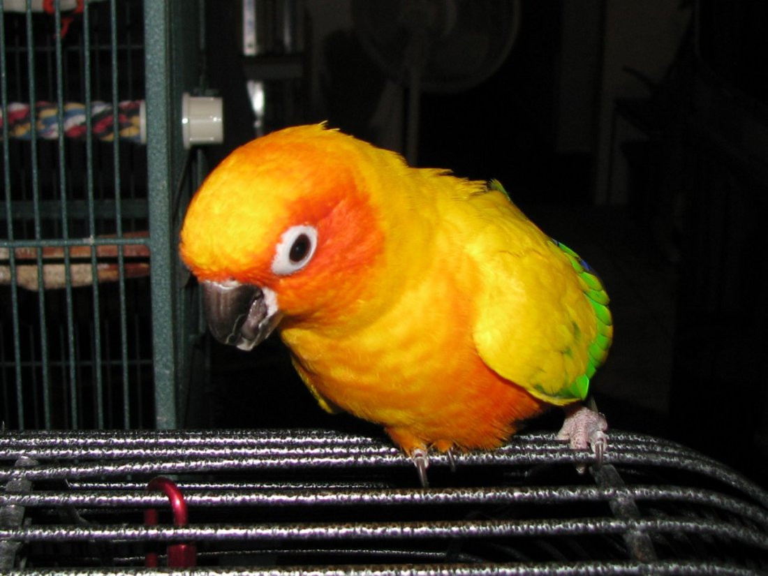 Sunny on cage