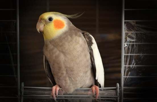 071617 cockatiel