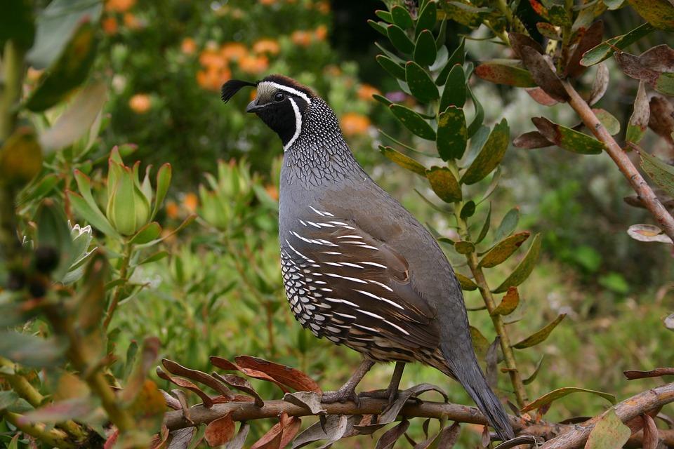 073017 quail