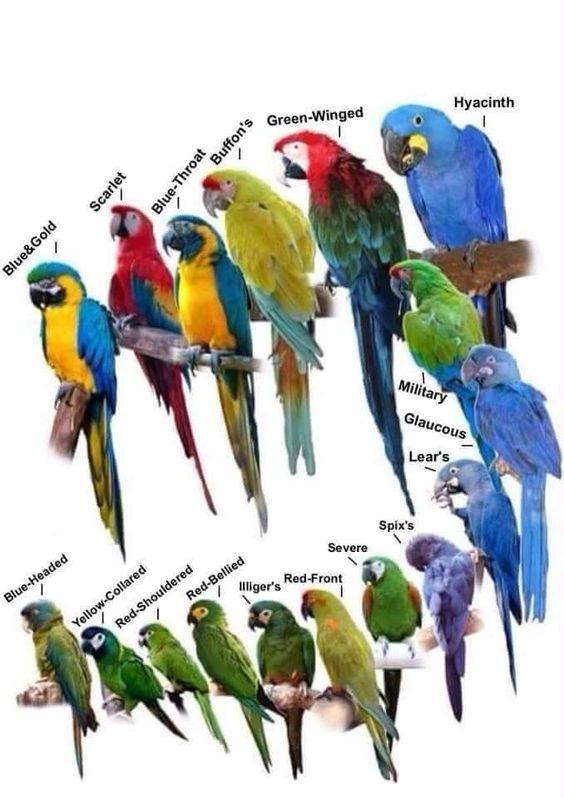 080617 macaw comparison