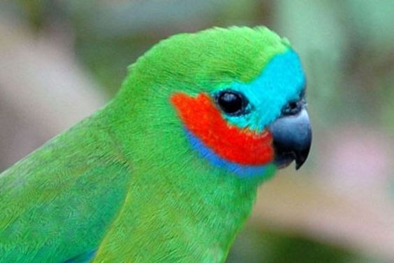 081317 fig parrot